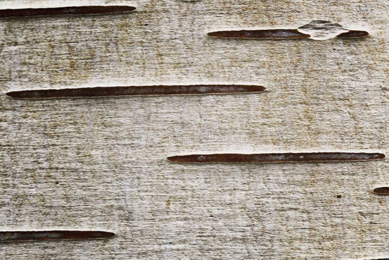 Brzozy tekstury zakończenia widok drzewna struktura obraz stock