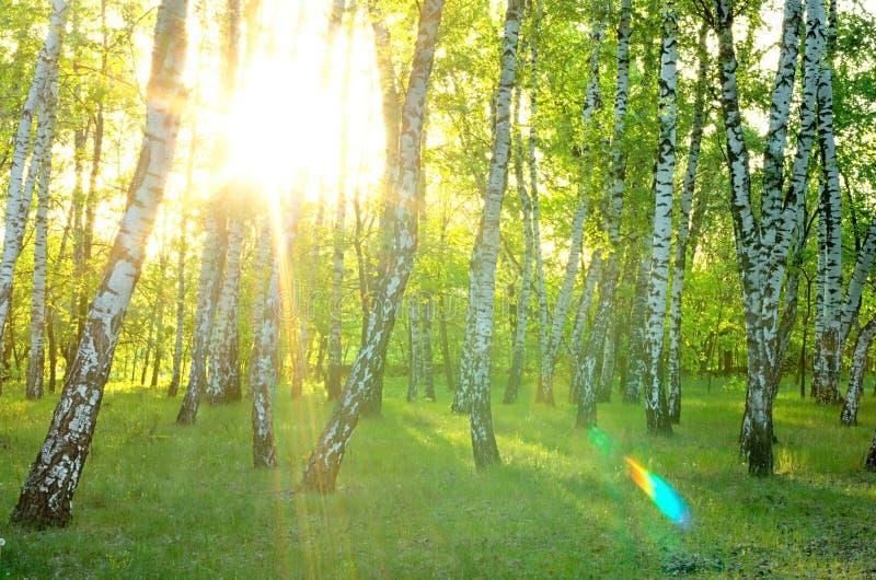 brzozy ulistnienia zieleni gaj może zdjęcia stock
