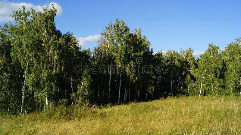 brzozy ulistnienia zieleni gaj może zdjęcia royalty free