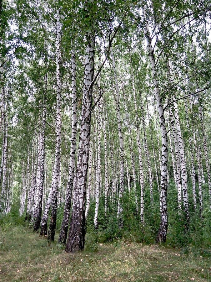 brzozy ulistnienia zieleni gaj może fotografia stock