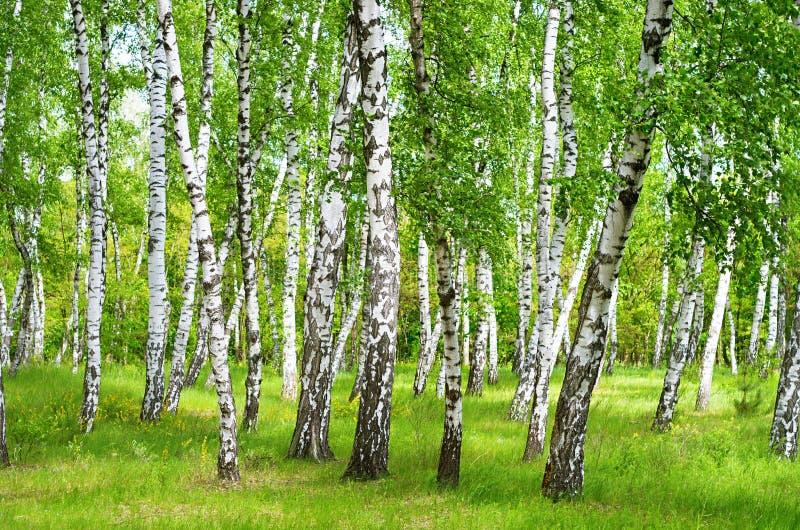 brzozy ulistnienia zieleni gaj może zdjęcie royalty free