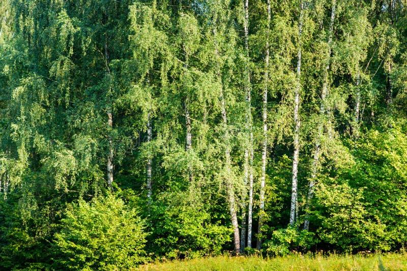 brzozy ulistnienia zieleni gaj może obraz royalty free