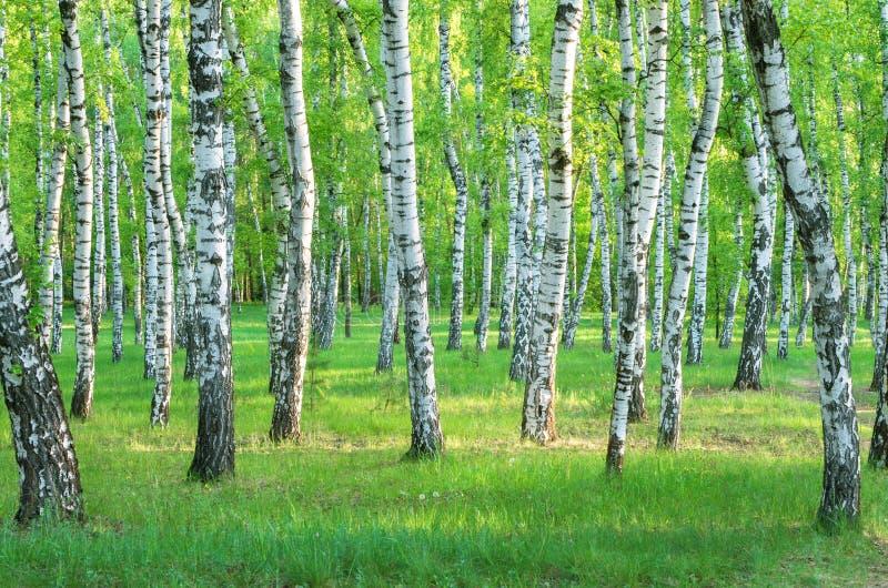 brzozy ulistnienia zieleni gaj może obraz stock