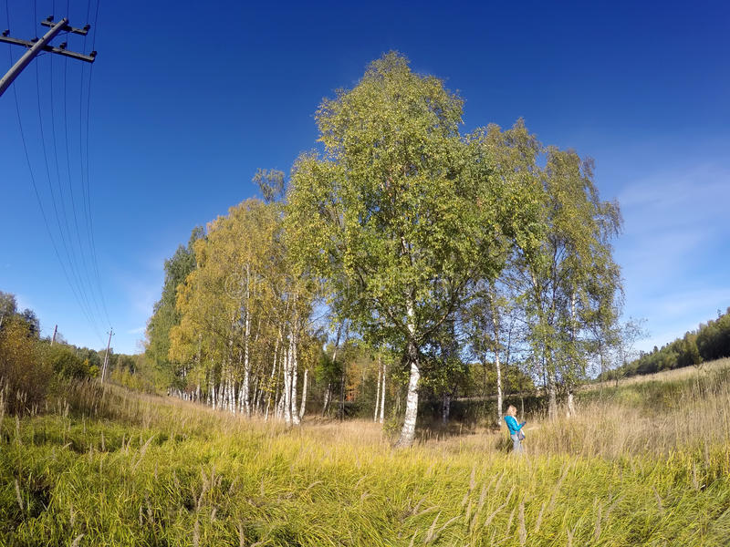 Brzozy w polu przeciw niebieskiemu niebu w pogodnym jesień dniu obrazy royalty free