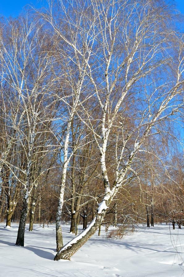 Brzozy w zima lesie przeciw niebieskiemu niebu obraz stock