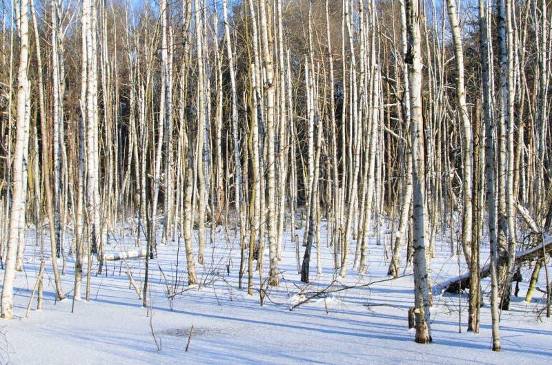 Brzozy w zimie zdjęcie royalty free