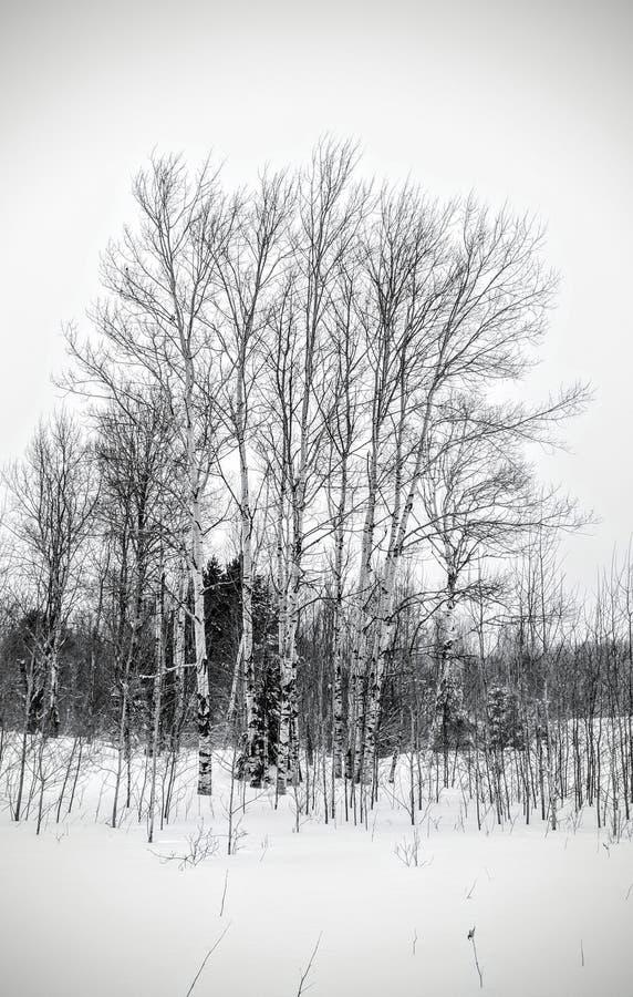 Brzozy w zimie zdjęcia royalty free