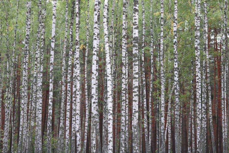 Brzozy z biel barkentyną w wczesnej jesieni obrazy royalty free