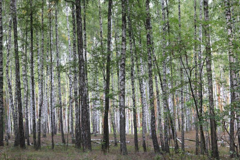 Brzozy z biel barkentyną w wczesnej jesieni zdjęcie royalty free
