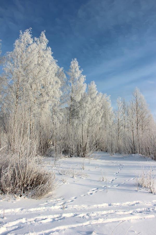 Brzozy zakrywać z hoarfrost zimy krajobrazem obraz royalty free