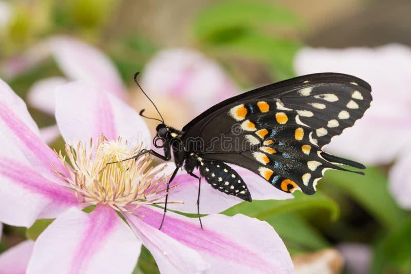 Brzuszny widok piękny męski Wschodni Czarny Swallowtail motyl zdjęcie royalty free