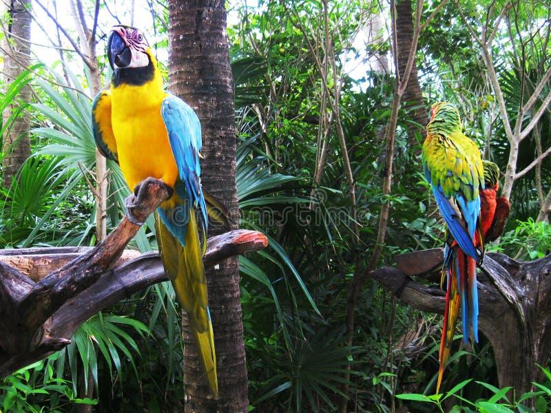 Btasilian-Papagei lizenzfreie stockbilder