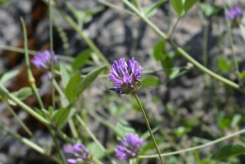 Btumen trefoil. Flower - Latin name - Bituminaria bituminosa stock photo