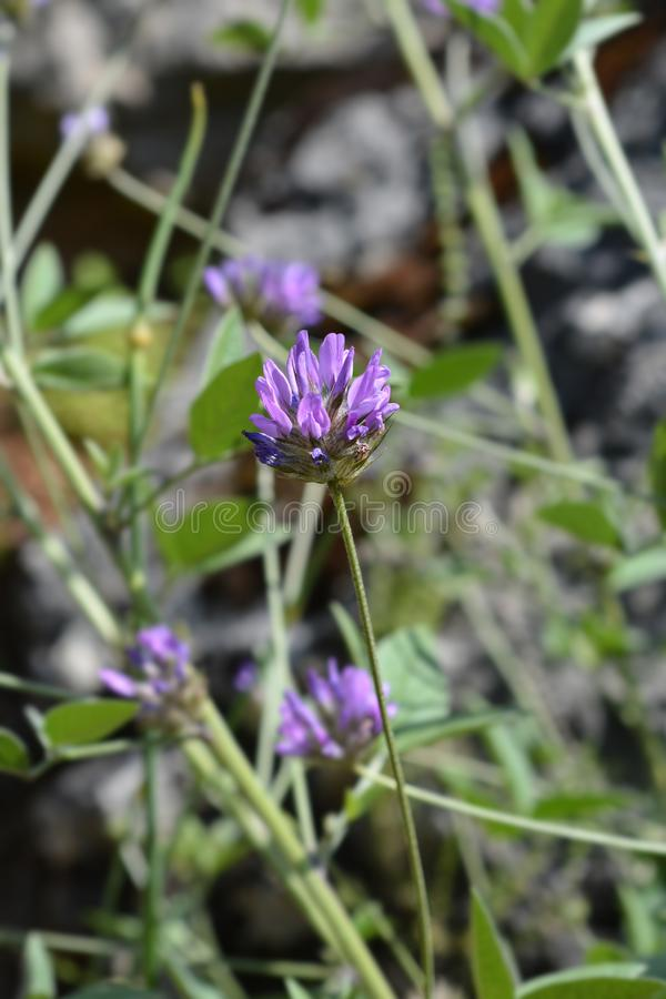 Btumen trefoil. Flower - Latin name - Bituminaria bituminosa stock image