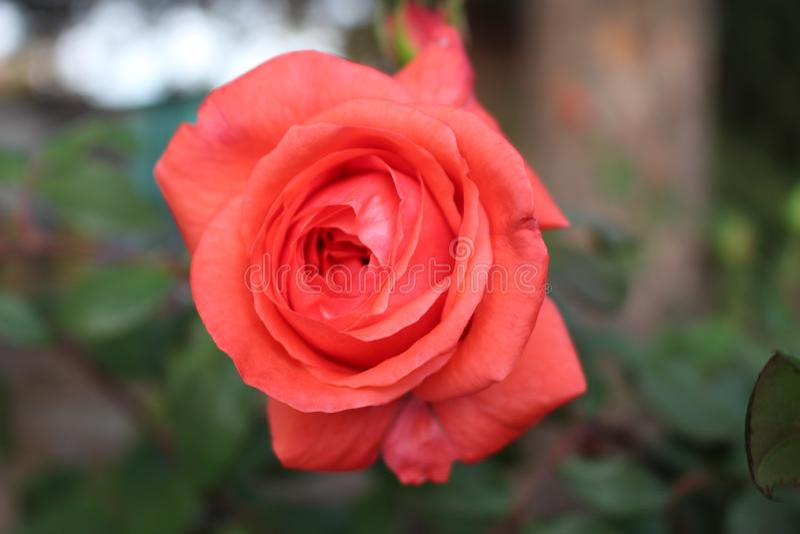 Bułgarska czerwieni róża strzelał w jesieni tylko w Bułgaria w Październiku, Listopadzie/ fotografia stock