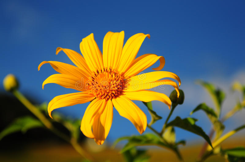 BUA Thong Sunflower. royalty free stock photos