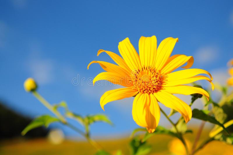 BUA Thong Sunflower. stock photography