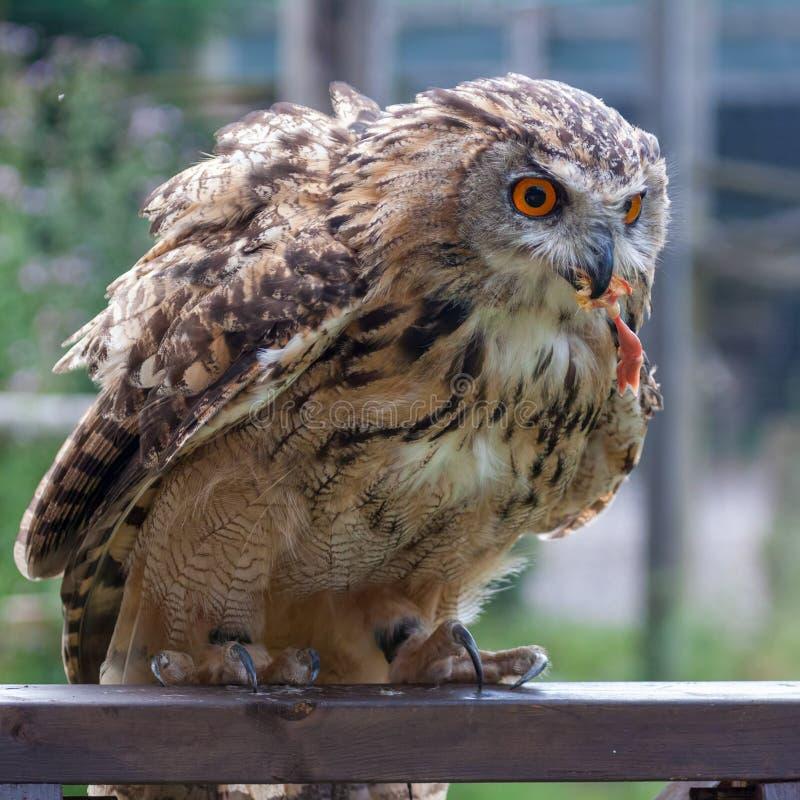 Bubão euro-asiático de Eagle-Owl Bubo com pé de um pintainho imagens de stock royalty free
