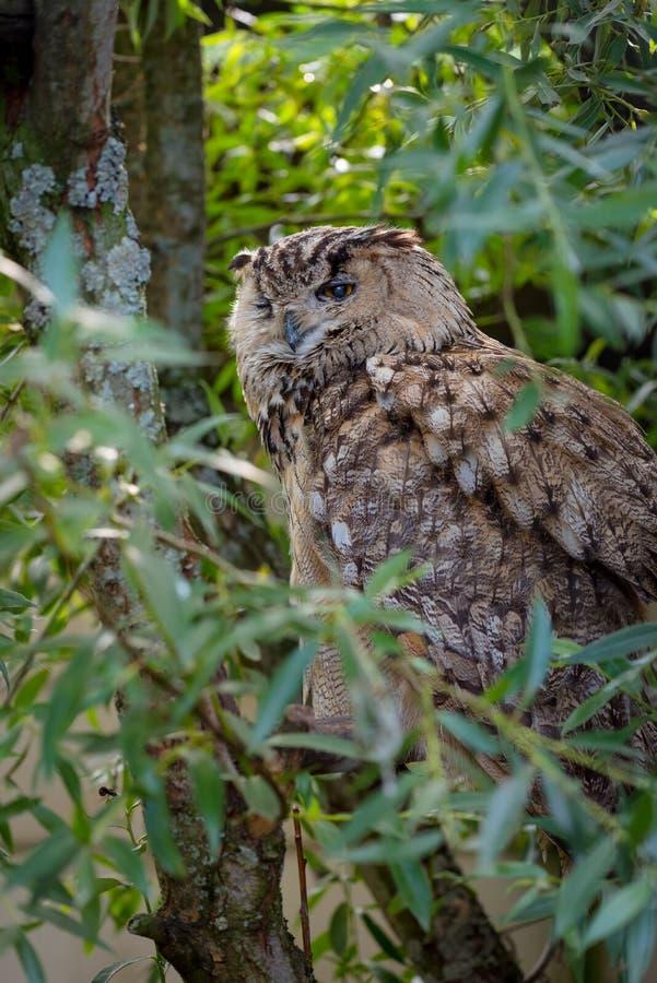 Bubão euro-asiático do bubão da coruja de águia fotografia de stock royalty free