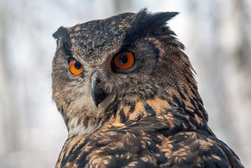 Bubón eurasiático del bubón del Eagle-búho foto de archivo