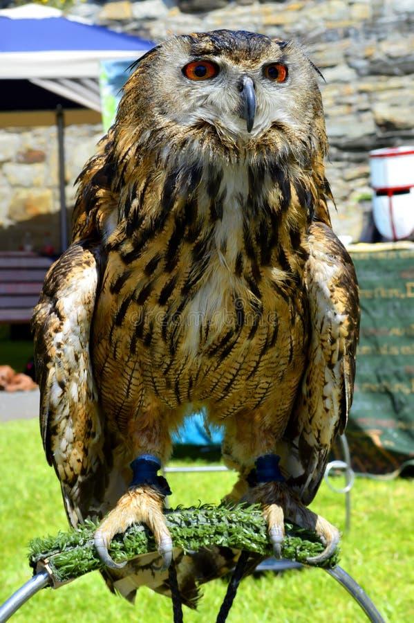 Bubón latino eurasiático del bubón del nombre del búho de águila foto de archivo