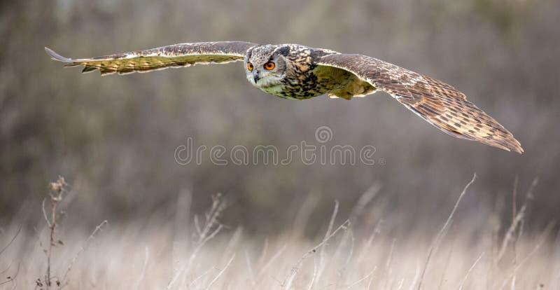 Bub?o euro-asi?tico de Eagle Owl Bubo no ambiente natural imagens de stock