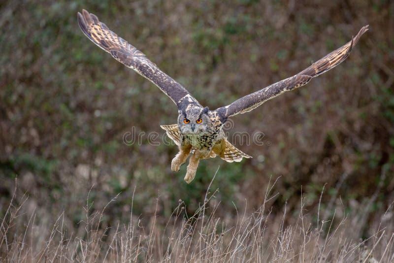 Bub?o euro-asi?tico de Eagle Owl Bubo no ambiente natural foto de stock