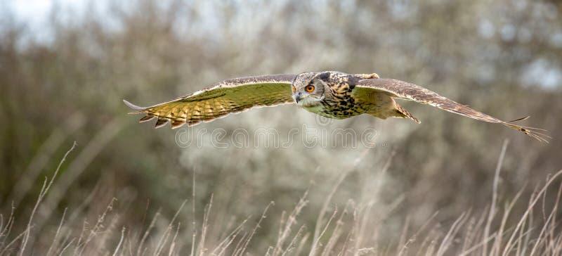Bub?o euro-asi?tico de Eagle Owl Bubo no ambiente natural imagens de stock royalty free