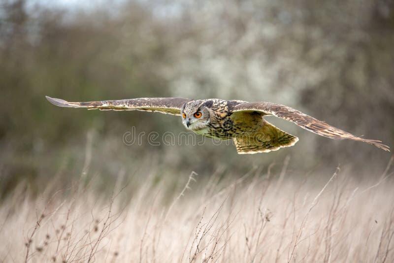 Bub?o euro-asi?tico de Eagle Owl Bubo no ambiente natural fotografia de stock