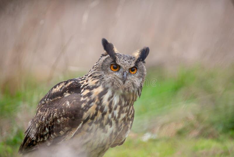 Bub?o euro-asi?tico de Eagle Owl Bubo no ambiente natural fotos de stock royalty free