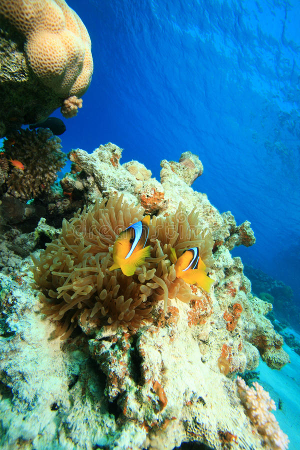 Bubble Anemone and Anemonefish royalty free stock image