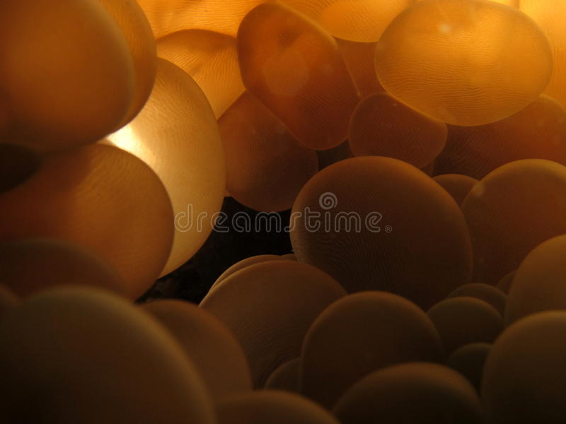 Bubble coral closeup stock photos