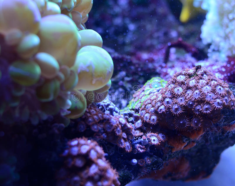 Bubble coral, Plerogyra sinuosa, in a saltwater aquarium. Marine life background royalty free stock photos