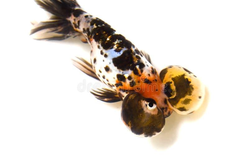 Bubble eyes Goldfish stock photo
