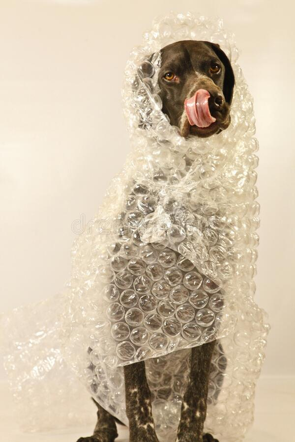 Bubble wrapped Dog with his tongue out. royalty free stock photos