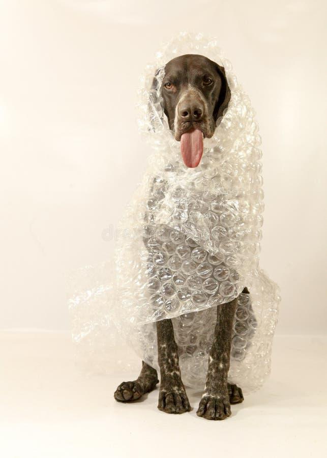 Bubble wrapped Dog stock image