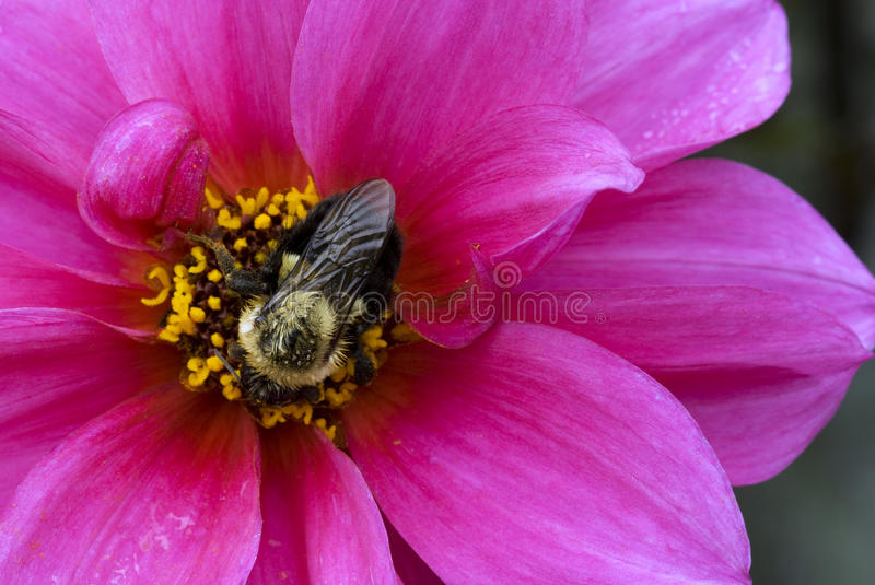 Buble bee on Dahlia blossom stock images