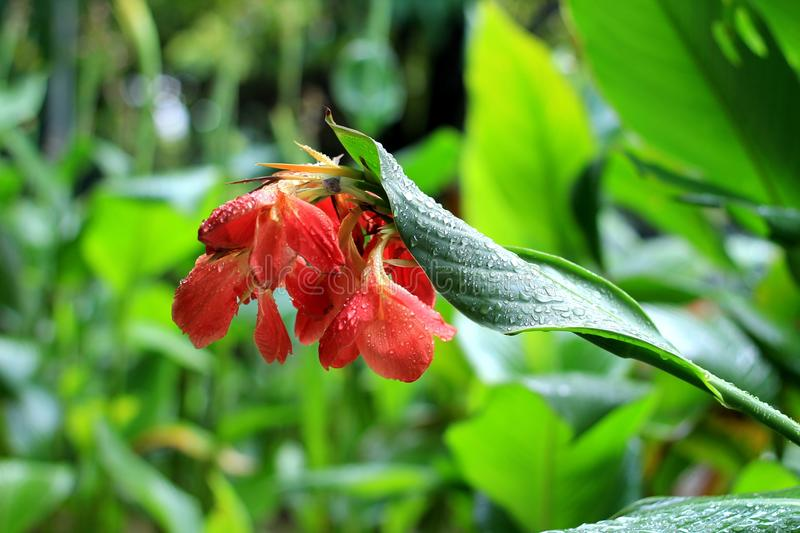 Buble rain in a red flower royalty free stock image