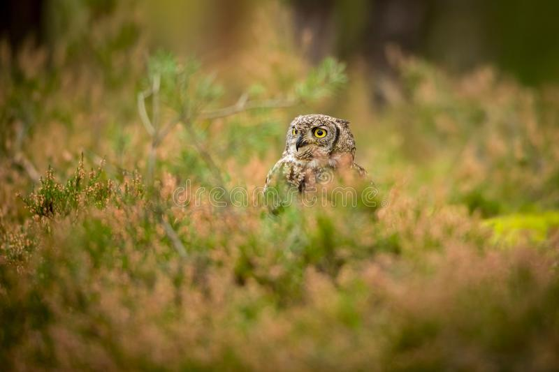 Bubo africanus into forest royalty free stock images