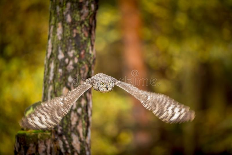 Bubo africanus into forest royalty free stock photos