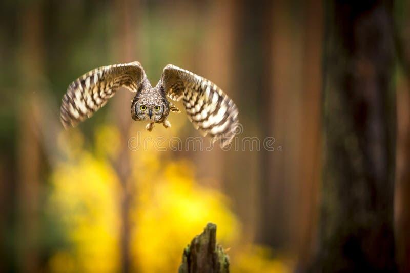 Bubo africanus in Wald stockfoto