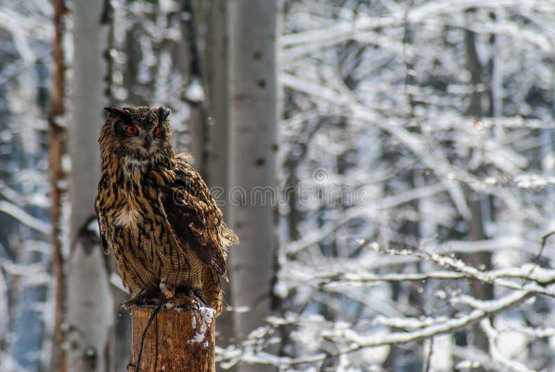 Bubo Bubo eagle-owl stock images