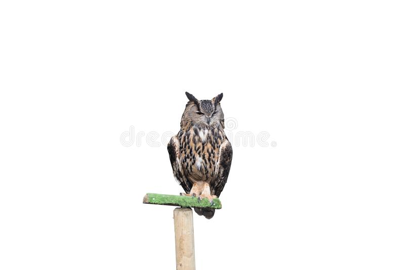 Eagle owl iso lated on a white background stock images