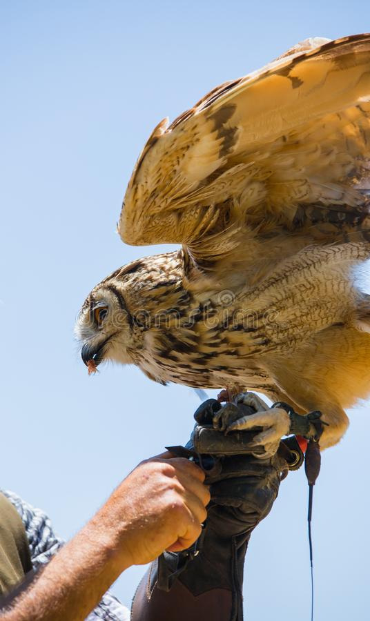 Bubo bubo - Real owl. While eating a chick on the falconer`s glove royalty free stock image