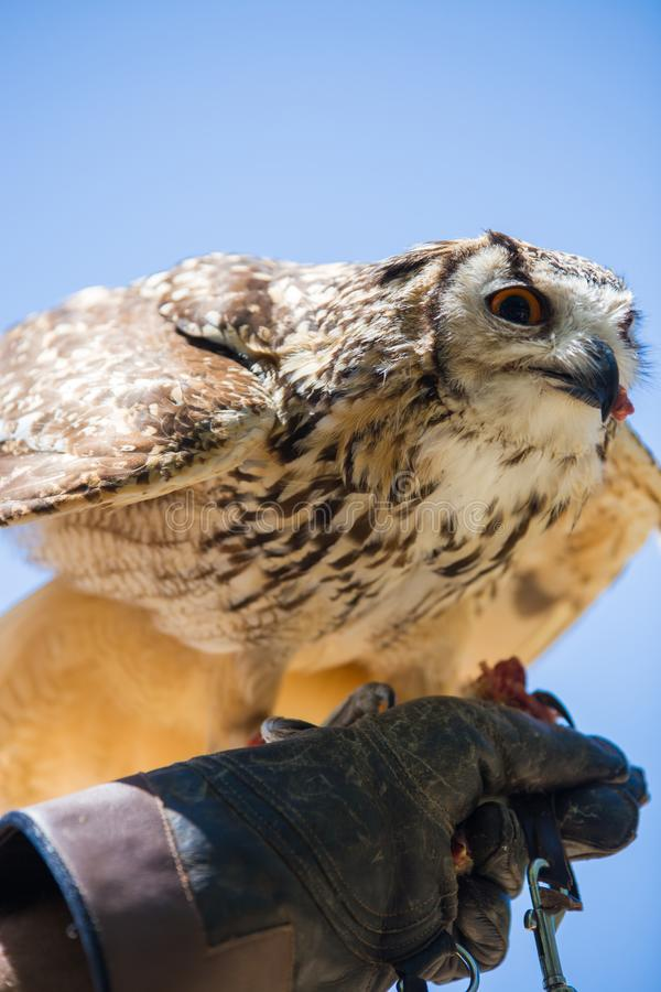 Bubo bubo - Real owl. While eating a chick on the falconer`s glove stock photo