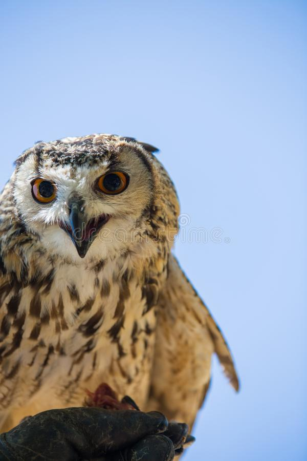 Bubo bubo - Real owl. While eating a chick on the falconer`s glove stock photography