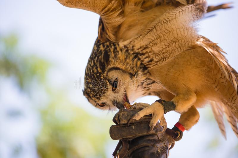 Bubo bubo - Real owl. While eating a chick on the falconer`s glove royalty free stock photo