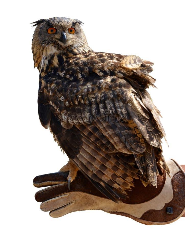 Bubo de Bubo de duc sur une main d'un fauconnier photographie stock libre de droits