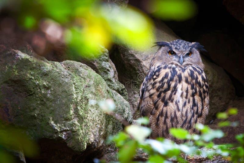 Bubo euroasiatico nella Selva Boema, repubblica Ceca Bubo/del gufo reale fotografie stock libere da diritti