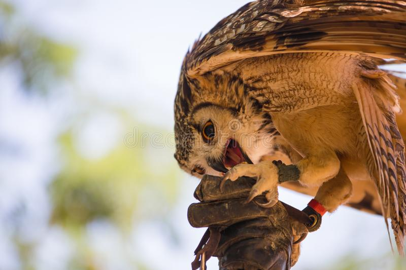 Bubo bubo - Real owl. On the falconer`s glove stock photography